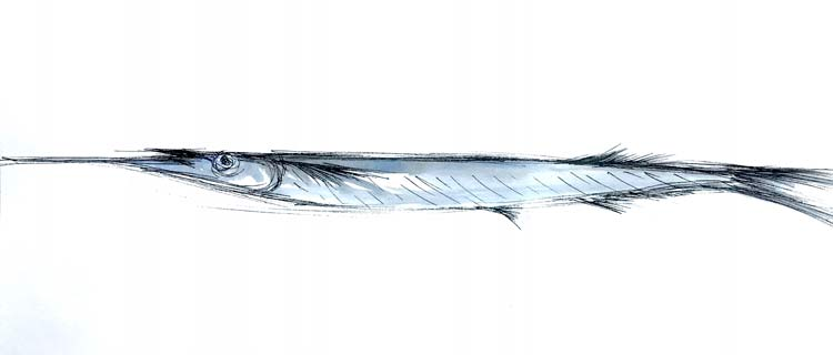 Garfish, 2021, ink and gouache on paper, 13 cm high x 30cm wide