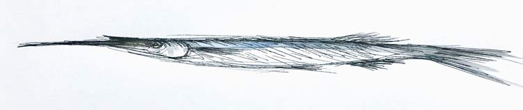 One Garfish, 2021, ink on paper, 12 cm high x 30 cm wide